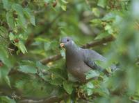 Band-tailed Pigeon (Columba fasciata) photo