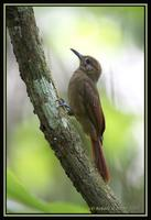 Plain-brown Woodcreeper 1