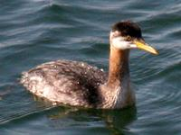 Red-necked Grebe. Photo by Greg Gillson