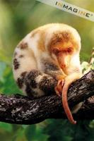 Spotted Cuscus (Spilocuscus maculatus) photo