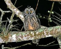 Central America & the Caribbean has another set of fantastic species such as this Stygian Owl, p...