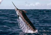 4. 청새치(striped marlin / barred marlin)