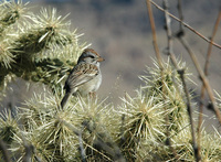 : Aimophila carpalis; Rufous-winged Sparrow