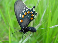 : Battus philenor; Pipevine Swallowtail