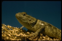 : Sceloporous sp.; Spiny Lizard