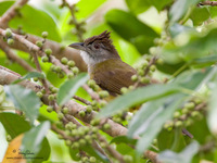 Grey-cheeked Bulbul Scientific name - Criniger bres