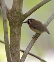 White-throated Spadebill (Platyrinchus mystaceus) photo