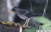 White-chinned Thrush - Turdus aurantius