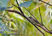 Luzon Striped-Babbler - Stachyris striata