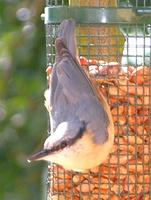 Nuthatch, Sitta europaea,  Guildford, Surrey, U.K., August 2005. Photo © Barrie Jamieson