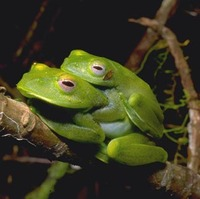 : Boophis luteus; Greater Madagascan Green Treefrog