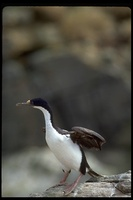 : Phalacrocorax atriceps; Blue-eyed Shag