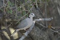 : Streptopelia capicola; Cape Turtle Dove