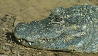 : Alligator sinensis; Chinese Alligator