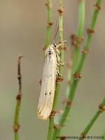 Spiris striata - Feathered Footman