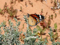 Danaus chrysippus - Plain Tiger