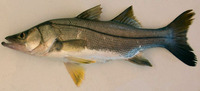Centropomus poeyi, Mexican snook: fisheries, gamefish
