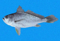 Larimus effulgens, Shining drum: fisheries