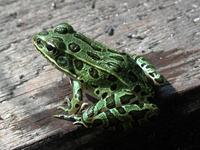Image of: Rana pipiens (northern leopard frog)
