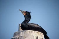 Phalacrocorax auritus - Double-crested Cormorant