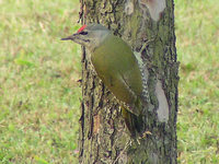 Picus canus - Grey-headed Woodpecker
