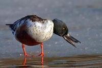 Image of: Anas clypeata (northern shoveler)
