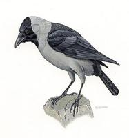 Image of: Corvus splendens (house crow)
