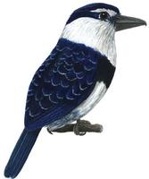 Image of: Notharchus macrorhynchos (white-necked puffbird)