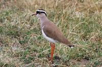 Image of: Vanellus coronatus (crowned plover)