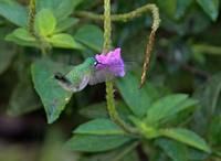 Violet-headed Hummingbird (Klais guimeti) photo