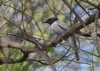 Madagascar Cuckoo-Shrike (Coracina cinerea) photo