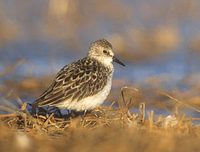 Semipalmated Sandpiper (Calidris pusilla) photo