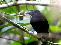 White-shouldered Antbird - Myrmeciza melanoceps