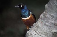 Superb Starling ( Lamprotornis superbus ) , Lake Baringo , Kenya stock photo