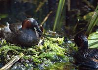 A pair of little grebes.