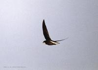 바늘꼬리칼새 White-throated needle-tailed Swift Chaetura caudacuta