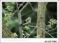 Pyrrhula erythaca Gray-headed Bullfinch 灰頭灰雀 124-090