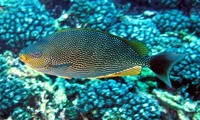 Siganus javus, Streaked spinefoot: fisheries, aquarium