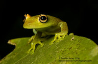 Rough-skinned Green Tree Frog - Hyla granosa