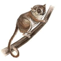 Image of: Microcebus rufus (brown mouse lemur)