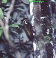 Olive-backed Woodpecker - Dinopium rafflesii