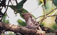 Sri Lanka Frogmouth - Batrachostomus moniliger