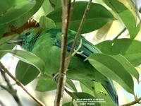 Blue-winged Leafbird - Chloropsis cochinchinensis