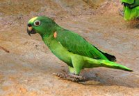 Yellow-crowned Parrot - Amazona ochrocephala