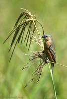 *NEW* Tawny-bellied Seedeater