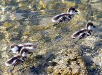 Australian Shelducklings