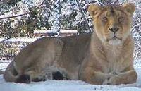 Picture of an Asiatic Lion Panthera leo persica