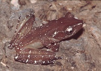 : Nyctixalus pictus; Peter's Tree Frog