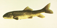 Catostomus commersonii, White sucker: fisheries, aquaculture, gamefish, bait