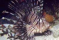 Pterois volitans, Red lionfish: fisheries, aquarium